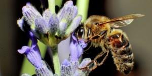 abeille butine